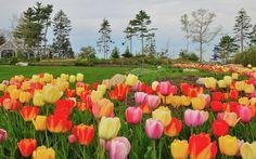 Tulips at:   Coastal Maine Botanical Gardens (CMBG)