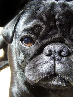 17 Cute Pug Pictures