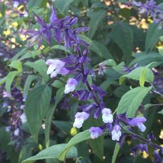 Photo of the bloom of Salvia (Salvia 'Waverly') posted by ...