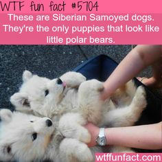 Siberian Samoyed dogs - WTF fun fact