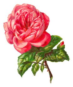 pink rose illustration - Antique Images