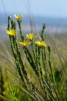 Ursinia quinquepartita grows in marshy places on mountain slopes.