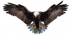 Eagle landing hand draw on white background vector. Eagle landing hand draw on w , Eagle Images, Eagle Pictures, Eagle Drawing, Eagle Tattoos, Eagle Chest Tattoo, Eagle Art, Auto Body Repair, Illustration, Eagles
