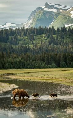 The beauty of Lake Clark National Park provides a magnificent backdrop for a bear sow and her cubs. Lake Clark National Park | Alaska