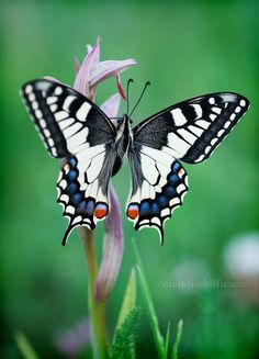Swallowtail - Papilio Machaon by claudiodelfuoco**