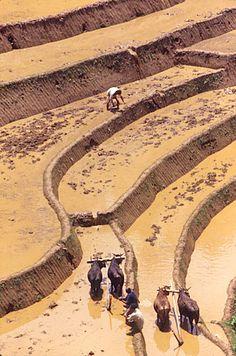 Preparing the rice paddies . Nepal
