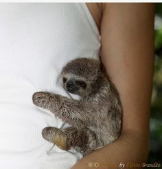 I would like a baby sloth. That is all.