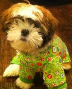 My sweet little shih tzu, Rascal  :)