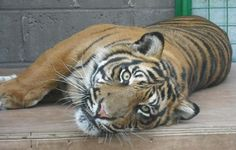 Up close and personal with one of the young tigers at a big cat sanctuary. Photo taken by Chris Cantrelle
