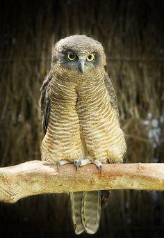 Rufous Owl (Ninox rufa) Owl Pictures, Cute Animal Pictures, Owl Bird, Pet Birds, Owl Species, Nocturnal Birds, Owl Eyes, Funny Birds, Exotic Birds