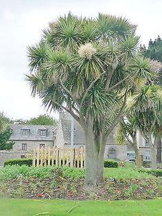 Cordyline Australis, cabbage tree