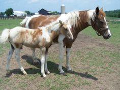 """True Mtn. Horse mare and unusually marked foal, """"Scarlet O Hara""""  and """"Gone With The Wind"""".  Most Tobiano Mtn. Horses were registered as Spotted Saddle Horses before the SMHA was started.  Photo by Jane Gean, Dream Catcher Enterprises."""