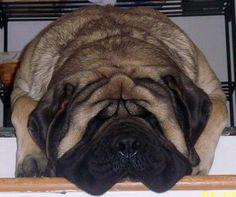 Adorable English Mastiff