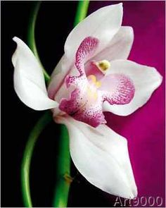Amélie Vuillon - Orchid