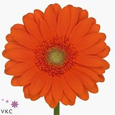 Germini Garfield (length 40 cm) is a beautiful flower that is great for weddings! Also brilliant for promotions! Large variety of colours to choose from! Head over to our website www.trianglenursery.co.uk to get more info! Great wholesale prices!
