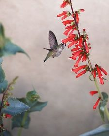 Hummingbird-Friendly Plants - Attract tiny, swift hummingbirds -- the busy bees of the bird world -- with the right plant selection.