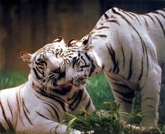 Absolutely wonderful! Grace your living space with this pair of white tiger's wall poster. This wall poster displays the two white tigers showing their love and affection to each other which is sure to catch lot of attention. White tigers are also known as the White Bengal Tiger. The subspecies of White tiger found throughout the Indian subcontinent. Give your home decor a new look with this unique and attractive wall poster.
