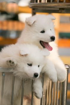 Cute Samoyed by Haines Zhang - Photo 74278867 - 500px