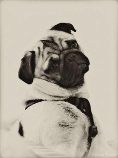 handsome pug