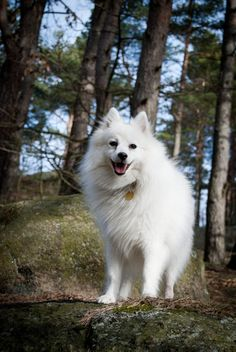 Sussi, the sassy. Breed: Japanese Spitz
