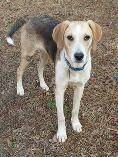 2/8/15         I AM STILL HOMELESS!       Please come see me, I would love a forever family.    07/13/14 SL ~~Clifford ~Beagle & Catahoula Leopard Dog Mix • Young • Male • Large Humane Society of Central Louisiana Pineville, LA