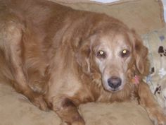 STILL MISSING PLEASE SHARE  This is Cheney a 18 yrs Golden Retriever 70 lbs last seen at 7:30 am March 21, 2013 on Cowhead Creek Rd which is close to Whitehall Rd, could also be close to Rockhouse Rd.  in Greenwood, SC. PLEASE share if found please call 864-344-2450. He is wearing a Coach red leather collar with his name and phone number. A very friendly dog, that is hard of hearing. I plead with you to PLEASE take a moment and repost.
