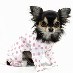 Long Hair CHihuahua in Polkadot Pajamas