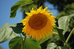 My 11' Sunflower