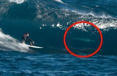 Great white sharks surfing. Australia can be a dangerous place, the pictures on this site are scary.