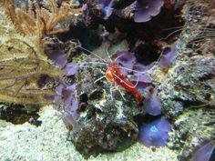 http://faaxaal.forumgratuit.ca/t1971-photos-de-crustaces-crevette-de-feu-lysmata-debelius-fire-shrimp#4505