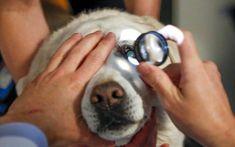 Esta enfermedad es causada por una inflamación del iris y el cuerpo ciliar. El iris es el obturador que controla el tamaño de la pupila. El cuerpo ciliar produce el líquido que nutre las estructuras en frente de la lente