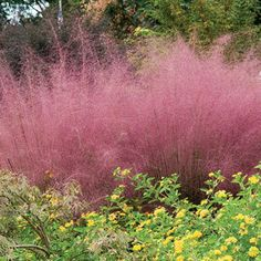 Pink Muhly Grass- Tolerates heat, humidity, poor soil, and even drought.