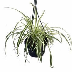 "Ocean Spider Plant - Easy to Grow - Cleans the Air - NEW - 6"" Hanging Basket $9.99"