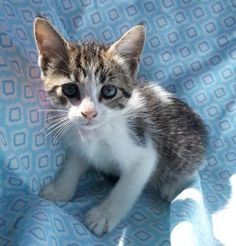 Meet Summer 22486, a Petfinder adoptable Domestic Short Hair Cat | Prattville, AL | Summer is a 9-week old grey/white female tabby.Dogs and puppies may be adopted for a fee of $120....