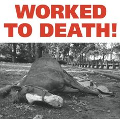 A voice for NYC horse-drawn carriages - Youtube @ http://www.youtube.com/user/horsesinnyc
