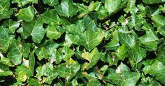 A borostyánlevél jótékony hatásai! Hydroponics, Herbalism, Herbs, Wedding, Herbal Medicine, Valentines Day Weddings, Hydroponic Gardening, Herb, Weddings