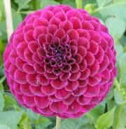 Small Ball dahlia 'Risca Miner'