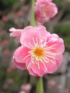 Japanese plum blossoms by tanakawho, via Flickr