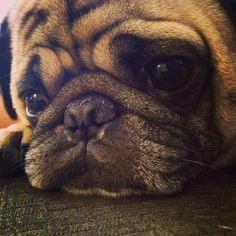 Thinking deep pug thoughts.