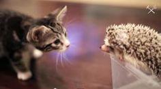 子猫がハリネズミに出会ったら
