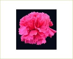 Abracadabra - Standard Carnation - Carnations - Flowers by category | Sierra Flower Finder