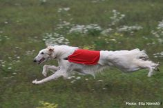 running borzoi  ~  Russian greyhound  ~