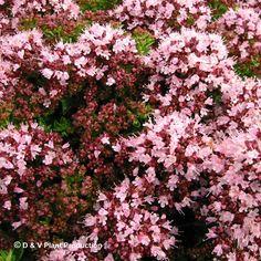 Origanum vulgare 'Compactum' - compacte oregano - Kruiden | Maréchal