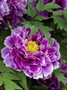 photo: close up  ... peony ... purple with yellow center ... like the commposition ...