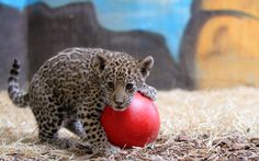 little lion | Little Lion Plays With Red Ball Wallpaper - Here you can see very ...