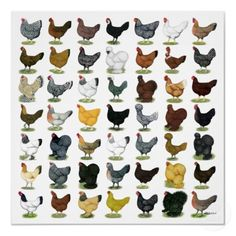 49 Chicken Hens Posters for when I have chickens of my own :)