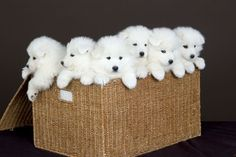 Siberian Samoyed puppies !