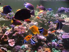 Saltwater Tank, Saltwater Aquarium, Reef Safe Fish, Bubble Tip Anemone, Fighting Conch, Squad Photos, Reef Aquarium, Angel Fish, Moorish