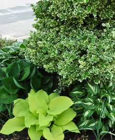 Hostas aren't ordinary when you combine a bright, lime-colored cultivar, a deeply-ribbed, solid green one and bookend them with two variegated varieties. Hosta Plants, Shade Plants, Garden Plants, Perennial Plant, Media Sombra, Hosta Gardens, Outdoor Landscaping, Back Gardens, Shade Garden