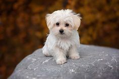 Maltese is among the most popular of toy dog breeds. Being bright and gentle, he makes a great companion. We have prepared some of the most important facts about this lovely pooch for you!